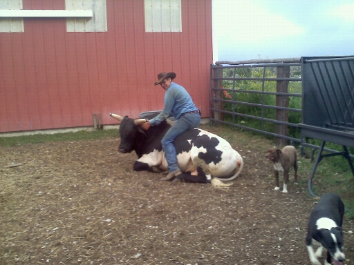 curt rides cow 2